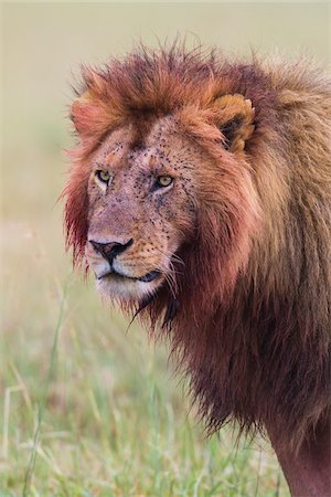 Male lion (Panthera leo) with blood on his head and mane after feeding, Maasai Mara National Reserve, Kenya Stock Photo - Premium Royalty-Free, Code: 600-06671735