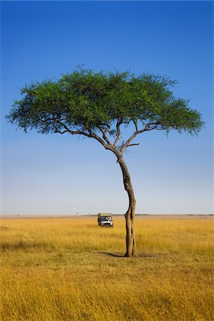 View of acacia tree and safari jeep, Maasai Mara National Reserve, Kenya Stock Photo - Premium Royalty-Free, Code: 600-06671739