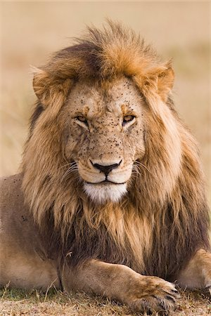Portrait of a big male lion (Panthera leo), Maasai Mara National Reserve, Kenya Stock Photo - Premium Royalty-Free, Code: 600-06671730