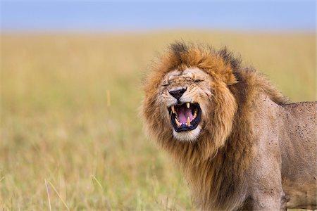 Big male lion (Panthera leo) showing Flehmen behavior, Maasai Mara National Reserve, Kenya Stock Photo - Premium Royalty-Free, Code: 600-06671732