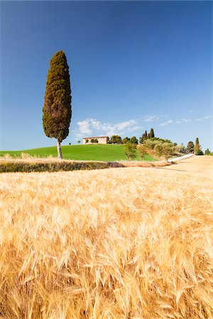 Mediterranean Cypress Tree (Cupressus sempervirens) by Country House and Barley Fields in Summer, Tuscany, Italy Stock Photo - Premium Royalty-Free, Code: 600-06701850