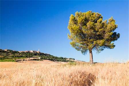Pine Tree by Barley Field, Pienza in the Distance, Val d'Orcia, Tuscany, Italy Stock Photo - Premium Royalty-Free, Code: 600-06701865