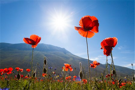 Low Angle View of Corn Poppies (Papaver rhoeas) Backlit by Sun, Piano Grande, Monti Sibillini National Park, Umbria, Italy Stock Photo - Premium Royalty-Free, Code: 600-06702049