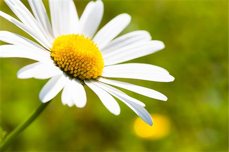 Close-up of White Oxeye Daisy (Leucanthemum vulgare), Germany Stock Photo - Premium Royalty-Free, Code: 600-06702086