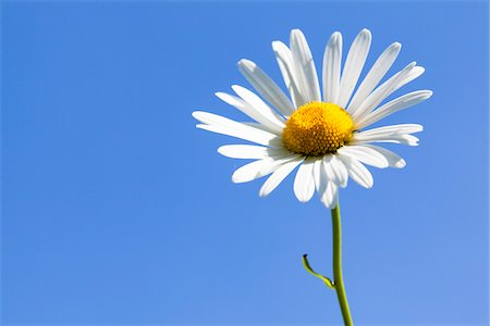 Close-up of White Oxeye Daisy (Leucanthemum vulgare) against Blue Sky, Germany Stock Photo - Premium Royalty-Free, Code: 600-06702088