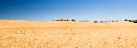 Barley Field with row of Mediterranean Cypress Trees (Cupressus sempervirens) Farm House in the Background, Val d'Orcia, Tuscany, Italy Stock Photo - Premium Royalty-Free, Code: 600-06702095