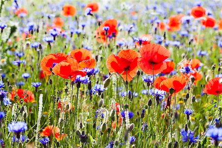 Corn Poppies (Papaver rhoeas) and Blue Cornflowers (Centaurea cyanus), Monti Sibillini National Park, Umbria, Italy Stock Photo - Premium Royalty-Free, Code: 600-06702106