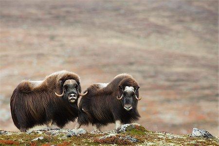 pair - Muskox (Ovibos moschatus), on Autumn Tundra, Dovrefjell Sunndalsfjella National Park, Norway Stock Photo - Premium Royalty-Free, Code: 600-06713966