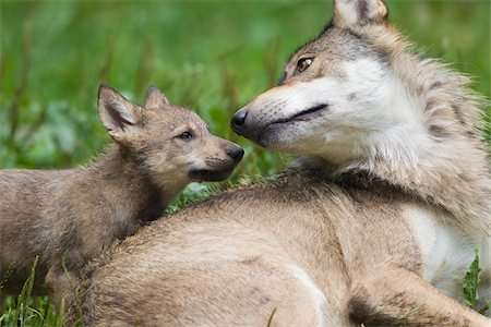 Timber wolves (Canis lupus lycaon), adult with cub, Game Reserve, Bavaria, Germany Stock Photo - Premium Royalty-Free, Code: 600-06732526