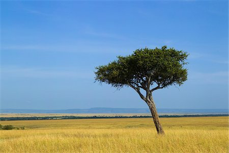 Acacia Tree on the Savanna, Maasai Mara National Reserve, Kenya Stock Photo - Premium Royalty-Free, Code: 600-06732522