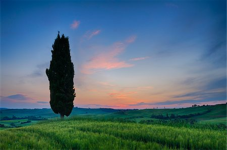 Cypress trees with sunset sky. Val d´Orcia, Pienza, Tuscany, Siena Province, Mediterranean Area, Italy. Stock Photo - Premium Royalty-Free, Code: 600-06732544