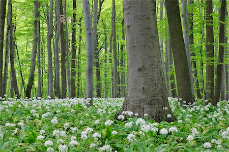 Spring forest with Ramsons (Allium ursinum) lush green foliage. Hainich National Park, Thuringia, Germany. Stock Photo - Premium Royalty-Free, Code: 600-06732578