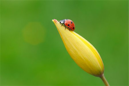 Seven Spot Ladybird (Coccinella septempunctata) on flower, against green background. Bavaria, Germany. Stock Photo - Premium Royalty-Free, Code: 600-06732573