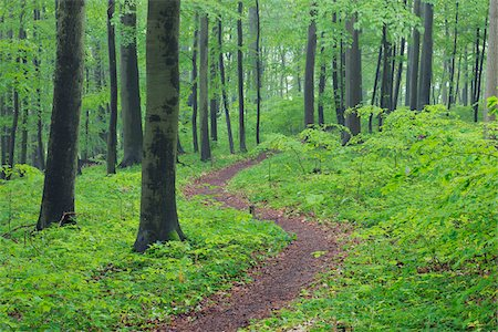 forest - Footpath through spring beech forest with lush green foliage. Hainich National Park, Thuringia, Germany. Stock Photo - Premium Royalty-Free, Code: 600-06732584