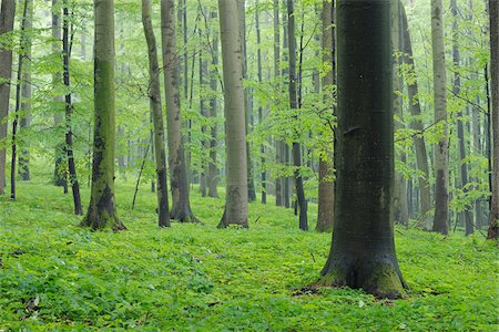 Spring beech forest with lush green foliage. Hainich National Park, Thuringia, Germany. Stock Photo - Premium Royalty-Free, Code: 600-06732582