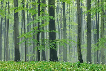 Spring beech forest with lush green foliage. Hainich National Park, Thuringia, Germany. Stockbilder - Premium RF Lizenzfrei, Bildnummer: 600-06732583