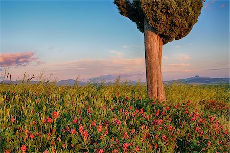 scenic view - Cypress tree with flowers near sunset. Pienza, Val d´Orcia, Tuscany, Italy. Stock Photo - Premium Royalty-Free, Code: 600-06732619