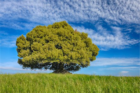 Holm Oak (Quercus ilex)  standing alone in meadow with dramatic sky. Tuscany, Mediterranean Area, Italy. Stock Photo - Premium Royalty-Free, Code: 600-06732624