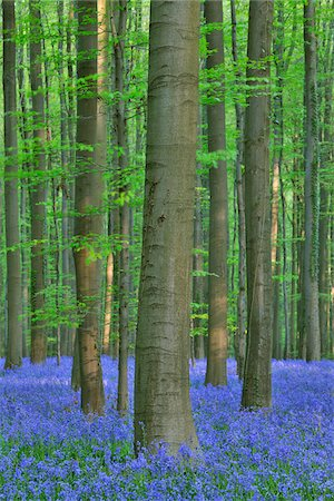 scenic and spring (season) - Beech Forest with Bluebells in Spring, Hallerbos, Halle, Flemish Brabant, Vlaams Gewest, Belgium Stock Photo - Premium Royalty-Free, Code: 600-06758115