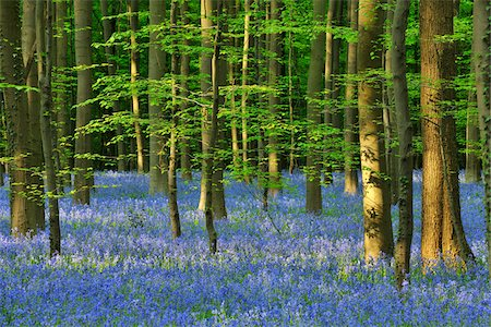 Beech Forest with Bluebells in Spring, Hallerbos, Halle, Flemish Brabant, Vlaams Gewest, Belgium Stock Photo - Premium Royalty-Free, Code: 600-06758116