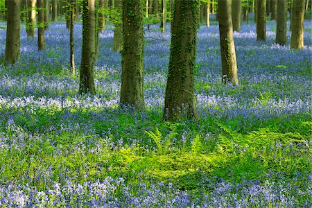 Beech Forest with Bluebells in Spring, Hallerbos, Halle, Flemish Brabant, Vlaams Gewest, Belgium Stock Photo - Premium Royalty-Free, Code: 600-06758117