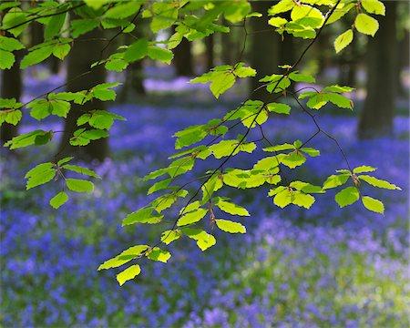 spring - Beech Leaves with Bluebells in Spring, Hallerbos, Halle, Flemish Brabant, Vlaams Gewest, Belgium Stock Photo - Premium Royalty-Free, Code: 600-06758119