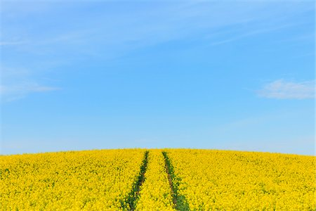 Canola Field with Tracks in Spring, Grossostheim, Lower Franconia, Bavaria, Germany Stock Photo - Premium Royalty-Free, Code: 600-06758113