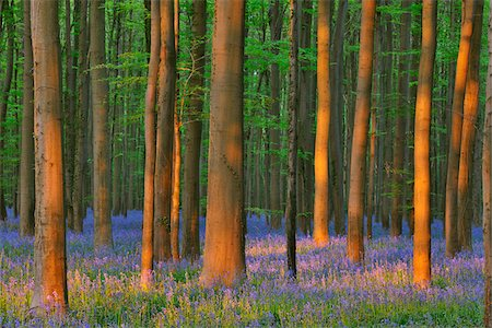 Beech Forest with Bluebells in Spring, Hallerbos, Halle, Flemish Brabant, Vlaams Gewest, Belgium Stock Photo - Premium Royalty-Free, Code: 600-06758125