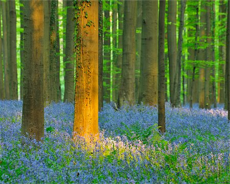 Beech Forest with Bluebells in Spring, Hallerbos, Halle, Flemish Brabant, Vlaams Gewest, Belgium Stock Photo - Premium Royalty-Free, Code: 600-06758127