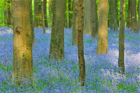 Beech Forest with Bluebells in Spring, Hallerbos, Halle, Flemish Brabant, Vlaams Gewest, Belgium Stock Photo - Premium Royalty-Free, Code: 600-06758129