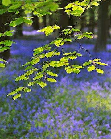 Beech Leaves with Bluebells in Spring, Hallerbos, Halle, Flemish Brabant, Vlaams Gewest, Belgium Stock Photo - Premium Royalty-Free, Code: 600-06758120