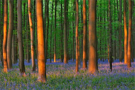 Beech Forest with Bluebells in Spring, Hallerbos, Halle, Flemish Brabant, Vlaams Gewest, Belgium Stock Photo - Premium Royalty-Free, Code: 600-06758123