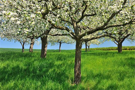 spring - Blossoming Apple Trees in Spring, Monchberg, Spessart, Bavaria, Germany Stock Photo - Premium Royalty-Free, Code: 600-06758239