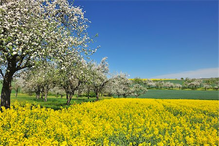 season - Countryside with Canola Field and Apple Trees in Spring, Monchberg, Spessart, Bavaria, Germany Stock Photo - Premium Royalty-Free, Code: 600-06758246