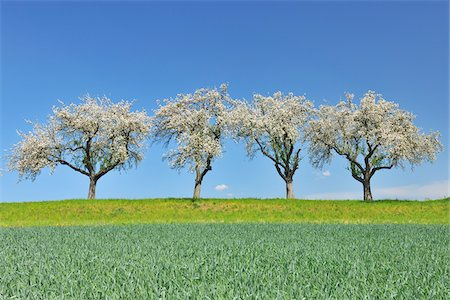 scenic and spring (season) - Row of Blossoming Apple Trees in Spring, Monchberg, Spessart, Bavaria, Germany Stock Photo - Premium Royalty-Free, Code: 600-06758241