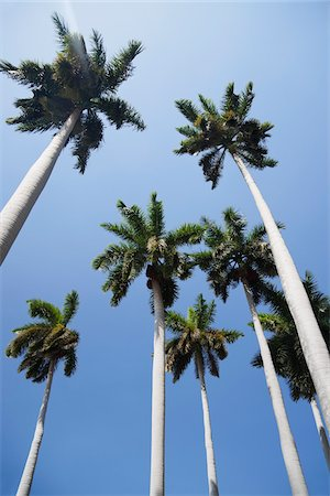 palm - Looking up at Palm Trees and Blue Sky, Havana, Cuba Stock Photo - Premium Royalty-Free, Code: 600-06758251