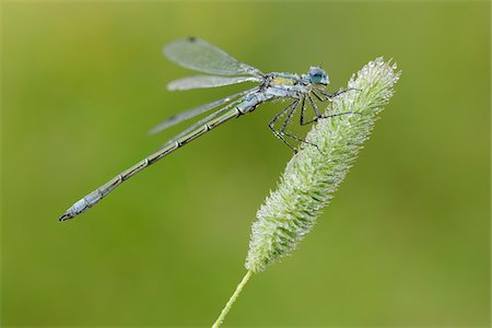 fragile - Close-up of Male Emerald Damselfly (Lestes sponsa), Bavaria, Germany Stock Photo - Premium Royalty-Free, Code: 600-06758340