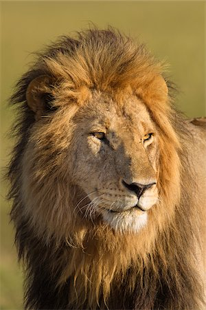 Portrait of Male Lion (Panthera leo), Maasai Mara National Reserve, Kenya, Africa Stock Photo - Premium Royalty-Free, Code: 600-06752427