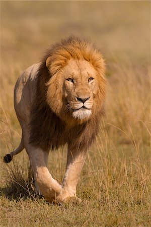 Portrait of Male Lion (Panthera leo) Walking in Grass, Maasai Mara National Reserve, Kenya, Africa Stock Photo - Premium Royalty-Free, Code: 600-06752429
