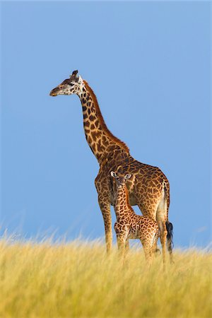 Masai Giraffe (Giraffa camelopardalis tippelskirchi), Mother with Calf, Maasai Mara National Reserve, Kenya, Africa Stock Photo - Premium Royalty-Free, Code: 600-06752434