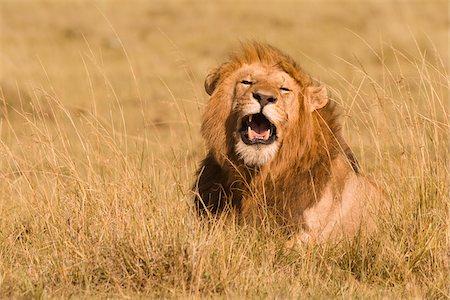 Male African Lion (Panthera leo) in Tall Grass, Maasai Mara National Reserve, Kenya, Africa Stock Photo - Premium Royalty-Free, Code: 600-06752430