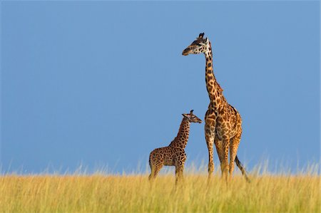 Masai Giraffe (Giraffa camelopardalis tippelskirchi), Mother with Calf, Maasai Mara National Reserve, Kenya, Africa Stock Photo - Premium Royalty-Free, Code: 600-06752433