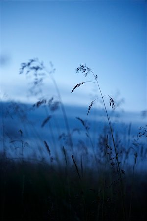 Silhouette of Long Grass at Dusk in Summer, Iceland Stock Photo - Premium Royalty-Free, Code: 600-06752566