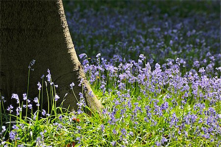 scenic and spring (season) - Beech Tree Trunk with Bluebells in Spring, Hallerbos, Halle, Flemish Brabant, Vlaams Gewest, Belgium Stock Photo - Premium Royalty-Free, Code: 600-06752576