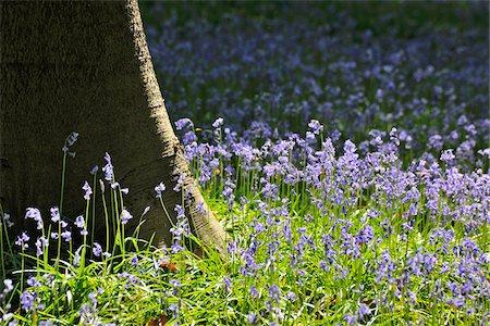 season - Beech Tree Trunk with Bluebells in Spring, Hallerbos, Halle, Flemish Brabant, Vlaams Gewest, Belgium Stock Photo - Premium Royalty-Free, Code: 600-06752576