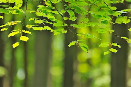 Beech Leaves in Spring, Hallerbos, Halle, Flemish Brabant, Vlaams Gewest, Belgium Stock Photo - Premium Royalty-Free, Code: 600-06752578