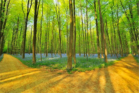 Forked Path through Beech Forest with Bluebells in Spring, Hallerbos, Halle, Flemish Brabant, Vlaams Gewest, Belgium Stock Photo - Premium Royalty-Free, Code: 600-06752579