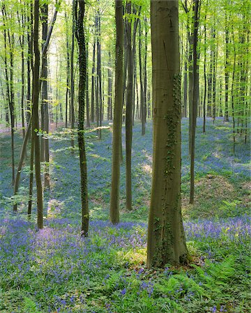 Beech Forest with Bluebells in Spring, Hallerbos, Halle, Flemish Brabant, Vlaams Gewest, Belgium Stock Photo - Premium Royalty-Free, Code: 600-06752572