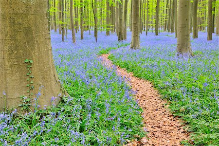 Path through Beech Forest with Bluebells in Spring, Hallerbos, Halle, Flemish Brabant, Vlaams Gewest, Belgium Stock Photo - Premium Royalty-Free, Code: 600-06752584