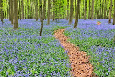 Path through Beech Forest with Bluebells in Spring, Hallerbos, Halle, Flemish Brabant, Vlaams Gewest, Belgium Stock Photo - Premium Royalty-Free, Code: 600-06752585